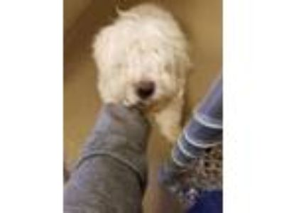 Adopt Ricky a White Bichon Frise / Poodle (Toy or Tea Cup) / Mixed dog in South