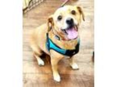 Adopt BENTLY a Tan/Yellow/Fawn Beagle / Dachshund / Mixed dog in Inland Empire
