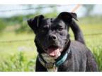 Adopt Scotty a Boxer, Labrador Retriever