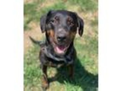 Adopt Bell a Black Hound (Unknown Type) / Mixed dog in Philadelphia