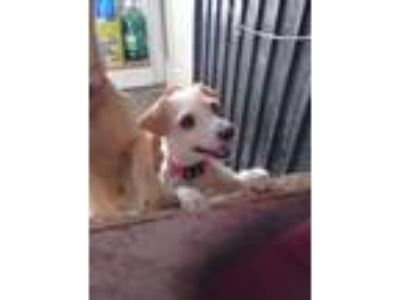 Adopt Coral a White - with Red, Golden, Orange or Chestnut Terrier (Unknown