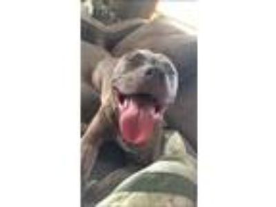Adopt Thor a Brindle American Pit Bull Terrier / Mixed dog in Coraopolis
