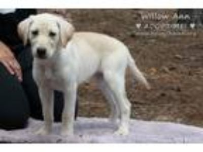 Adopt The Yellow Lab Puppies a Tan/Yellow/Fawn Labrador Retriever / Labrador