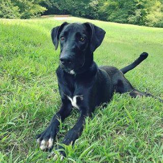 Great Dane-Australian Cattle Dog Mix DOG FOR ADOPTION ADN-90509 - Free Dane red heeler mix