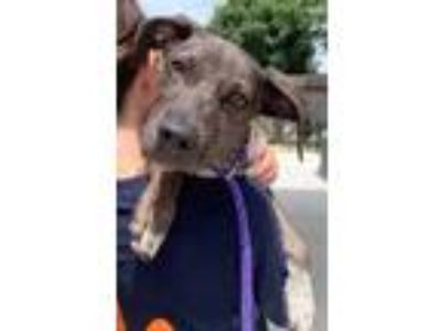 Adopt Cookie a Gray/Blue/Silver/Salt & Pepper Hound (Unknown Type) / Mixed dog