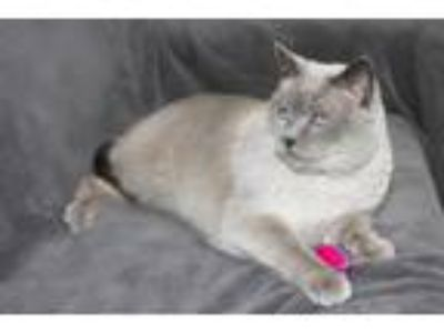 Adopt Carlie a Domestic Short Hair, Siamese