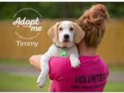 Adopt Timmy a White - with Tan, Yellow or Fawn Basset Hound / Beagle / Mixed dog
