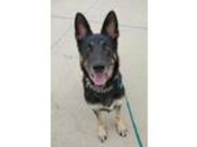 Adopt JuJu a Black German Shepherd Dog / Mixed dog in Irving, TX (25887261)