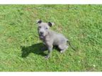 Adopt SYDNEY a Gray/Silver/Salt & Pepper - with White American Pit Bull Terrier