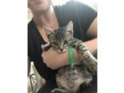 Adopt Noodles a Brown Tabby American Shorthair cat in Memphis, TN (25879580)