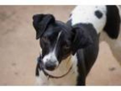 Adopt Princess a Black Jack Russell Terrier / Mixed dog in Toccoa, GA (25566613)