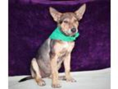 Adopt Dingo Lonestar* a Brindle - with White German Shepherd Dog / Mixed dog in