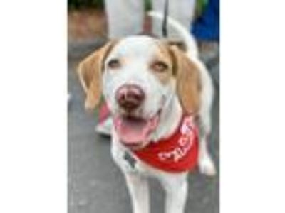 Adopt Lucky a White - with Brown or Chocolate Pointer / Hound (Unknown Type) /