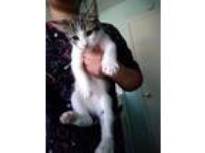 Adopt Hardy a Spotted Tabby/Leopard Spotted Domestic Shorthair / Mixed cat in