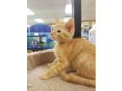 Adopt Nectarine a Orange or Red Tabby Domestic Shorthair (short coat) cat in