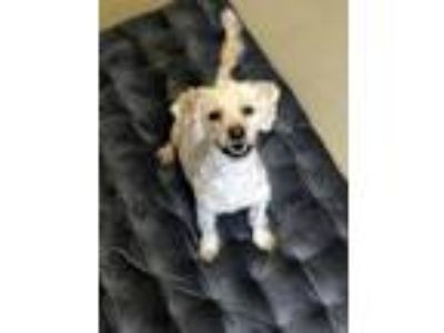 Adopt Cookie a Tan/Yellow/Fawn Poodle (Miniature) / Mixed dog in Bay Shore