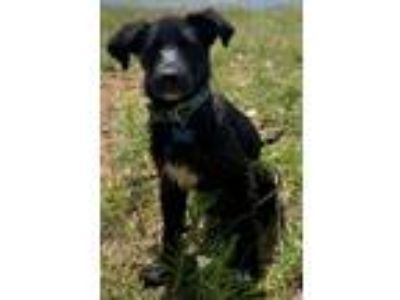 Adopt Summer a Black - with White Shepherd (Unknown Type) / Australian Cattle