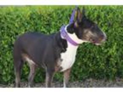 Adopt ZARA a Brindle - with White Bull Terrier / Mixed dog in Las Vegas