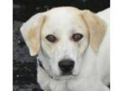 Adopt Carlton a Labrador Retriever, Great Pyrenees