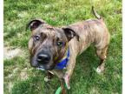 Adopt BRODY a Pit Bull Terrier