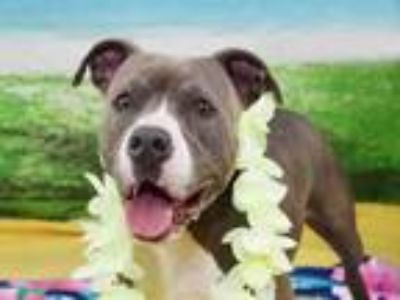 Adopt ROBIN a Pit Bull Terrier, Mixed Breed