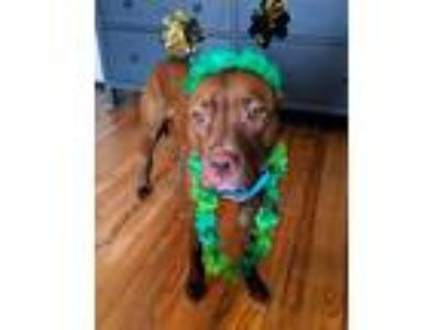 Adopt Phoebe a Red/Golden/Orange/Chestnut American Pit Bull Terrier / Labrador