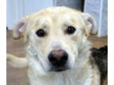 Adopt Scrappy Doo a Brown/Chocolate - with White Shepherd (Unknown Type) / Mixed