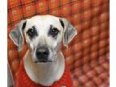 Adopt Millie a Tan/Yellow/Fawn Labrador Retriever / Mixed dog in North Myrtle