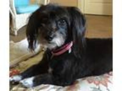 Adopt Sophie a Black - with White Corgi / Poodle (Miniature) / Mixed dog in