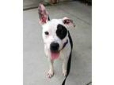 Adopt Babette a White American Pit Bull Terrier / Mixed dog in Cincinnati