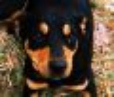 Lady Labrador Retriever - Shepherd Dog