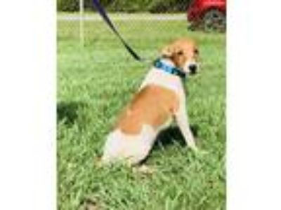 Adopt Curly a Jack Russell Terrier / Mixed dog in Kingsland, GA (25881843)