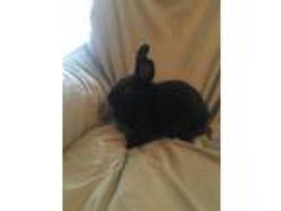 Adopt Britt a Black American / Mixed (short coat) rabbit in West Pelzer