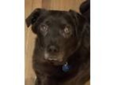 Adopt Grover a Black Labrador Retriever / Retriever (Unknown Type) / Mixed dog