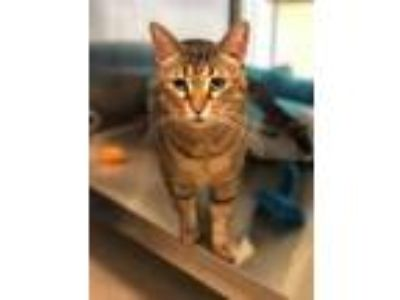 Adopt Jodeco a Brown or Chocolate Domestic Shorthair / Domestic Shorthair /