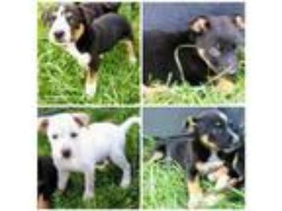 Adopt Mama's Pups a German Shepherd Dog / Australian Cattle Dog / Mixed dog in