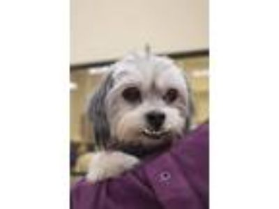 Adopt Toby a Shih Tzu, Yorkshire Terrier