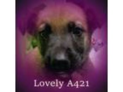 Adopt Lovey a German Shepherd Dog, Labrador Retriever