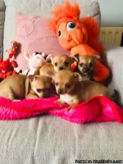 Gorgeous spunky chihuahua puppies available!