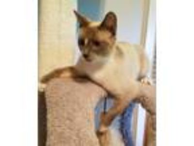 Adopt Maxie a Cream or Ivory (Mostly) Snowshoe (short coat) cat in Greenville