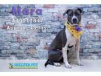 Adopt Mara a Gray/Silver/Salt & Pepper - with White Pit Bull Terrier / Mixed dog