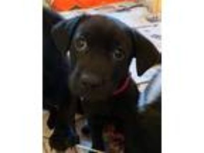 Adopt Cloud a Labrador Retriever