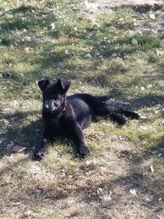 German Shepherd Dog PUPPY FOR SALE ADN-107485 - German Sheppards