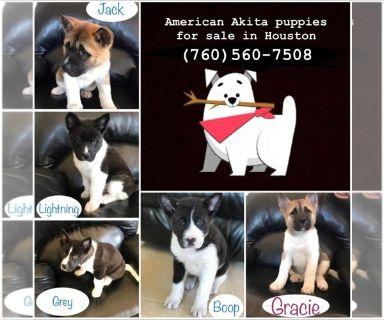 Akita PUPPY FOR SALE ADN-130591 - Sophiersquos Puppies