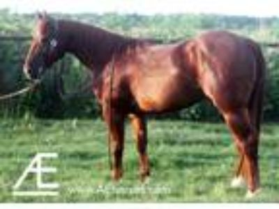 3 year old AQHA Gelding Highbrow Cat Dual Pep Dual Smart Rey on Papers