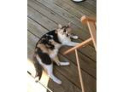Adopt Gelato a Calico or Dilute Calico Calico cat in Fort Bragg, NC (24855517)