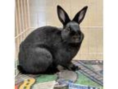 Adopt Onyx a Black American / Mixed (short coat) rabbit in Williston