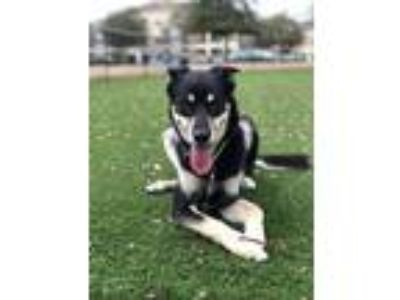 Adopt Dakota a Black - with Tan, Yellow or Fawn German Shepherd Dog / Husky /