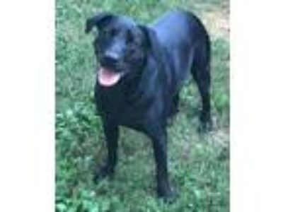 Adopt Nick a Black Rottweiler / Labrador Retriever / Mixed dog in Washington DC