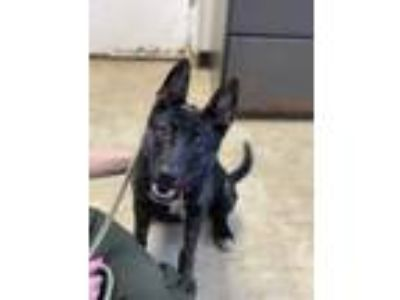 Adopt Panache a Black Shepherd (Unknown Type) / Mixed dog in Chicago